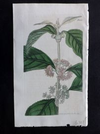 William Curtis 1819 Antique Botanical Print. Malalbar Hoary Callicarpa 2107
